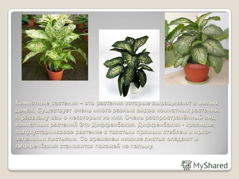 Комнатные растения – это растения которые выращивают в жилых домах. Существует очень много разных видов комнатных растений. Я расскажу вам о некоторых из них. Очень распространённый вид комнатных растений Это Диффенбахия. Диффенбахия - красивое, полу