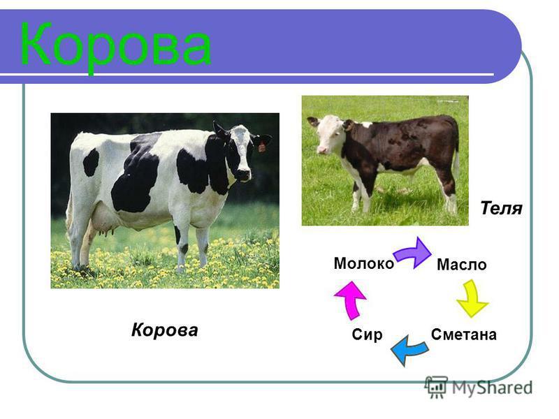 Корова Масло Сметана Сир Молоко Корова Теля