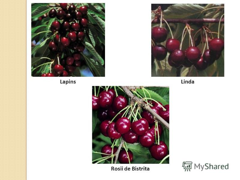 LapinsLinda Rosii de Bistrita
