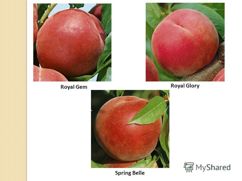 Royal Gem Royal Glory Spring Belle