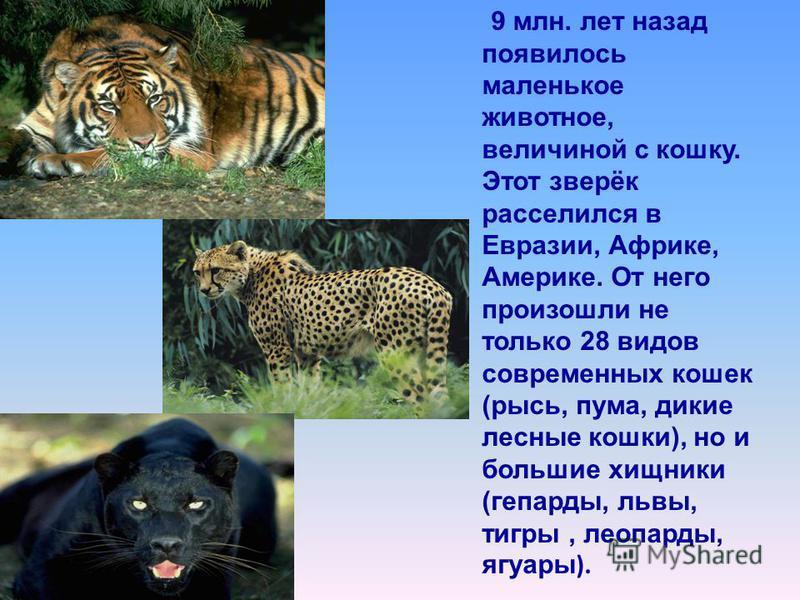 9 млн. лет назад появилось маленькое животное, величиной с кошку. Этот зверёк расселился в Евразии, Африке, Америке. От него произошли не только 28 видов современных кошек (рысь, пума, дикие лесные кошки), но и большие хищники (гепарды, львы, тигры,