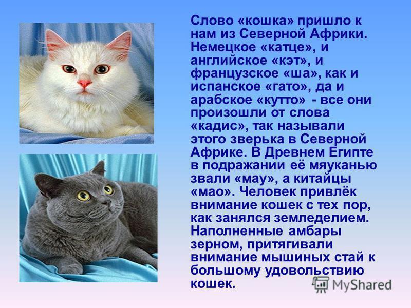 Слово «кошка» пришло к нам из Северной Африки. Немецкое «катце», и английское «кэт», и французское «ша», как и испанское «гато», да и арабское «кутто» - все они произошли от слова «кадис», так называли этого зверька в Северной Африке. В Древнем Египт