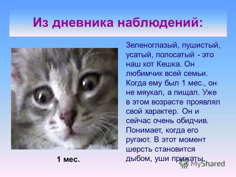 Из дневника наблюдений: Зеленоглазый, пушистый, усатый, полосатый - это наш кот Кешка. Он любимчик всей семьи. Когда ему был 1 мес., он не мяукал, а пищал. Уже в этом возрасте проявлял свой характер. Он и сейчас очень обидчив. Понимает, когда его руг