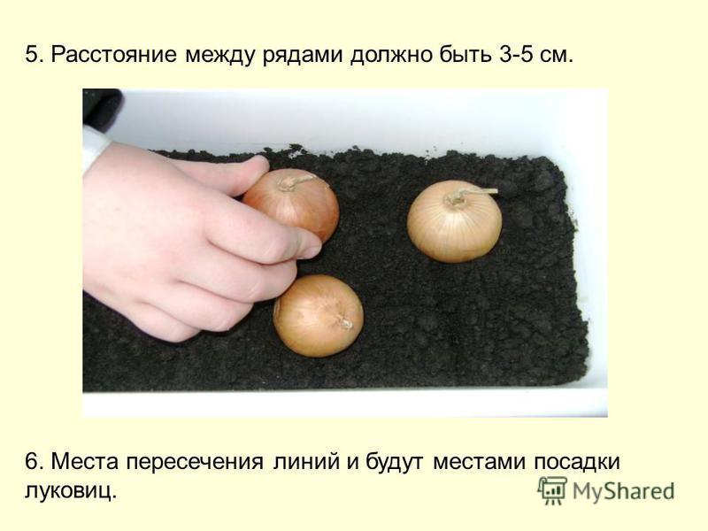 5. Расстояние между рядами должно быть 3-5 см. 6. Места пересечения линий и будут местами посадки луковиц.