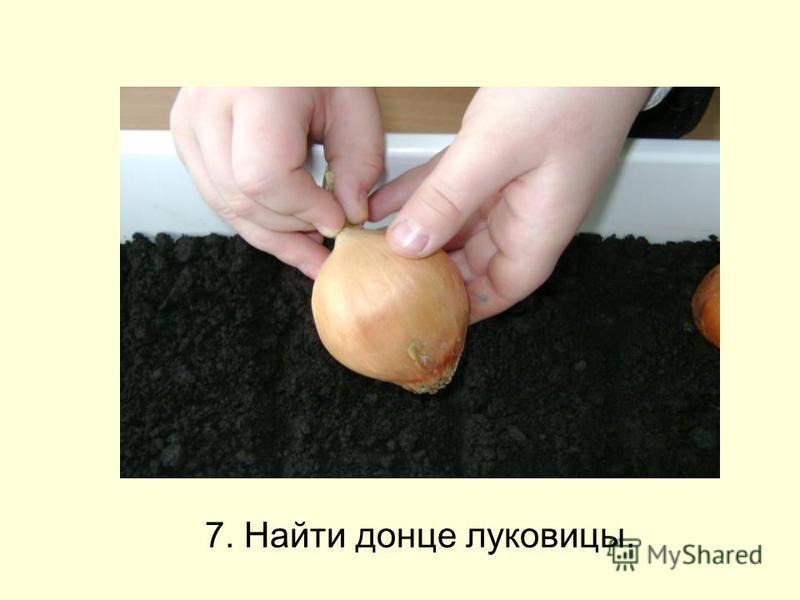 7. Найти донце луковицы.