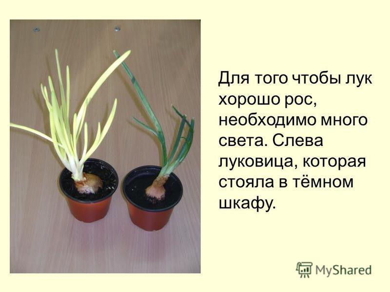 Для того чтобы лук хорошо рос, необходимо много света. Слева луковица, которая стояла в тёмном шкафу.
