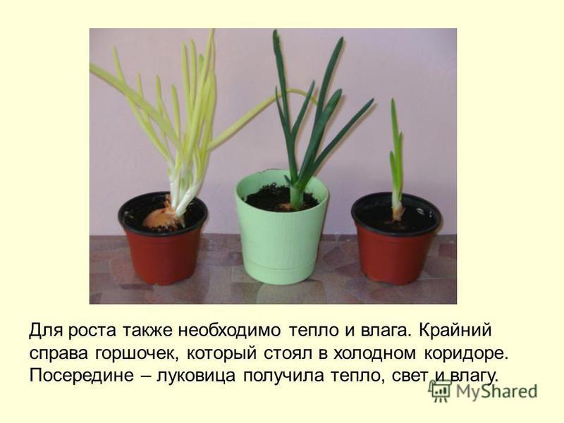 Для роста также необходимо тепло и влага. Крайний справа горшочек, который стоял в холодном коридоре. Посередине – луковица получила тепло, свет и влагу.