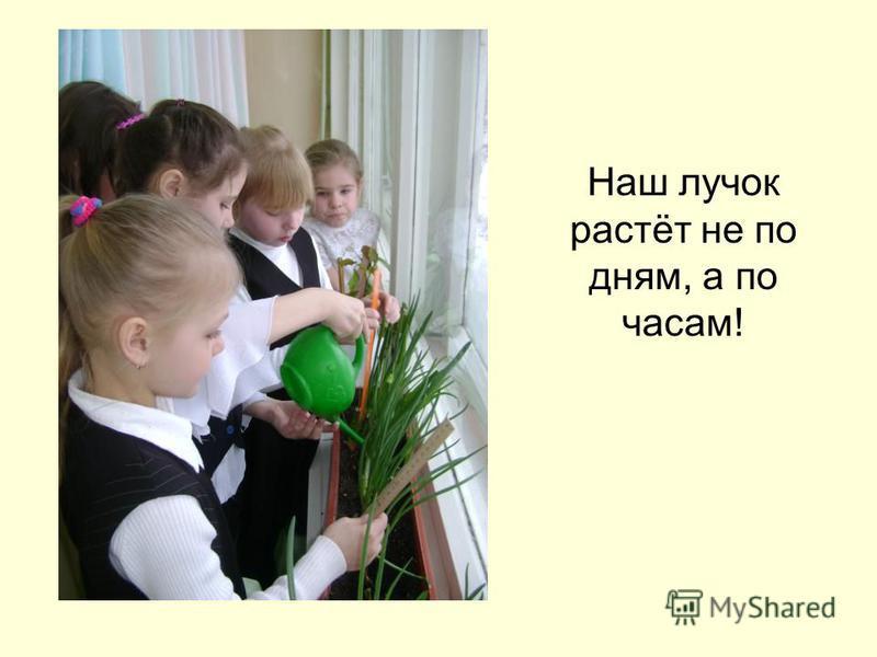 Наш лучок растёт не по дням, а по часам!