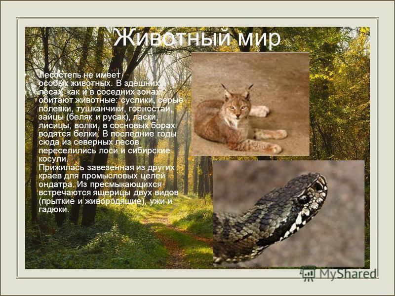 Животный мир Лесостепь не имеет особых животных. В здешних лесах как и в соседних зонах, обитают животные: суслики, серые полевки, тушканчики, горностаи, зайцы (беляк и русак), ласки, лисицы, волки, в сосновых борах водятся белки. В последние годы сю