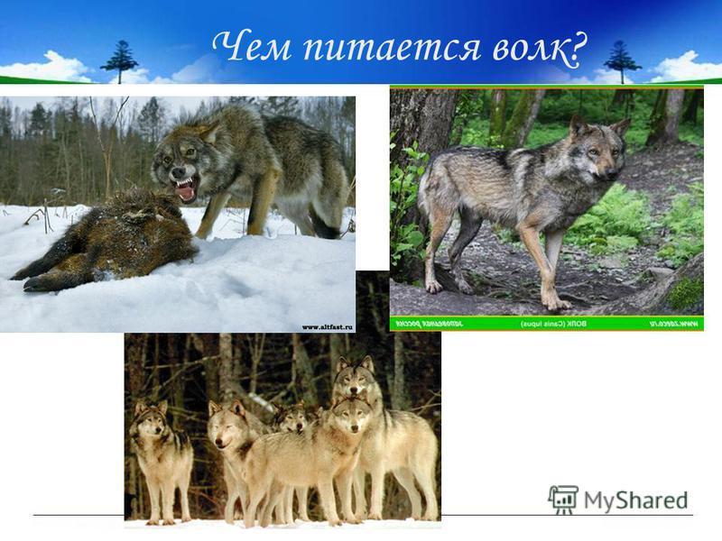 Чем питается волк?