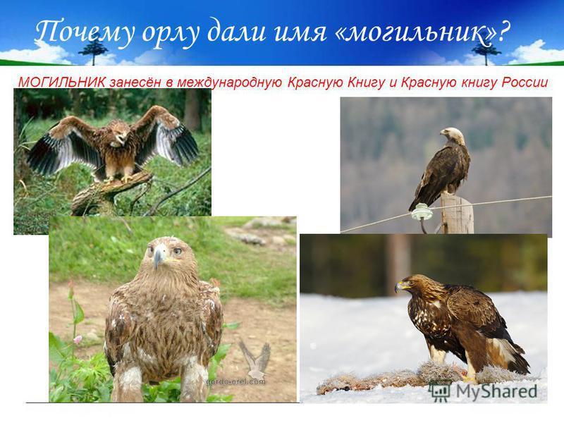 Почему орлу дали имя «могильник»? МОГИЛЬНИК занесён в международную Красную Книгу и Красную книгу России