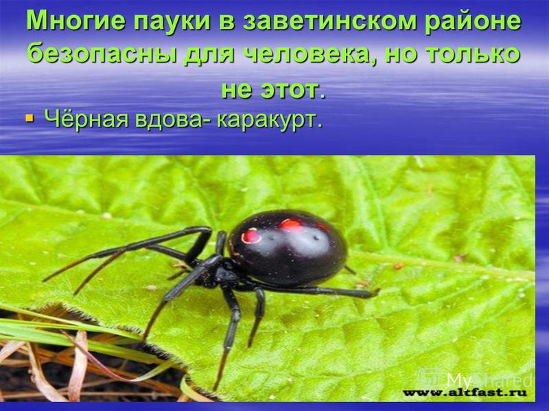Многие пауки в заветинском районе безопасны для человека, но только не этот. Чёрная вдова- каракурт. Чёрная вдова- каракурт.