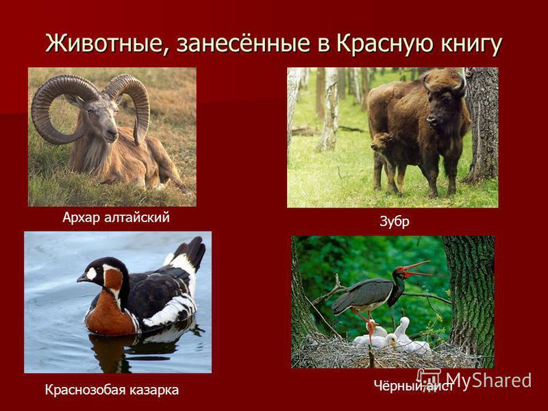 Животные, занесённые в Красную книгу Архар алтайский Зубр Краснозобая казарка Чёрный аист