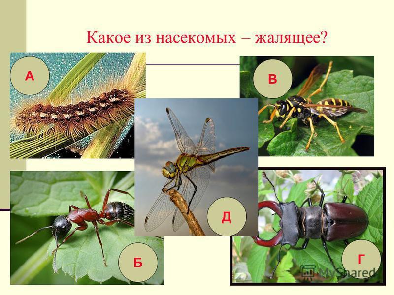 Какое из насекомых – жалящее? А Г Б В Д