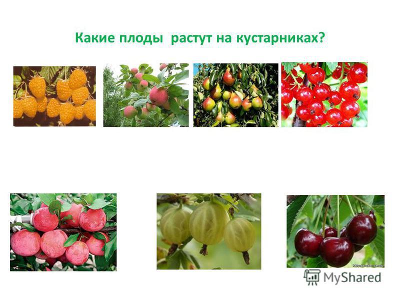 Какие плоды растут на кустарниках?