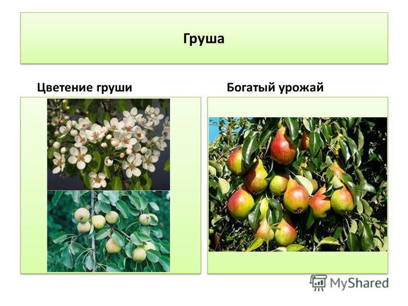 Груша Цветение груши Богатый урожай
