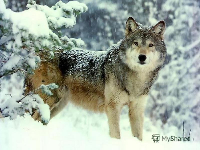 волк Все его боятся В сказках и в лесу И поэтому очень не везет ему Хоть он и сердитый, Но красив и смел Верный, горделивый Он пушист и сер.