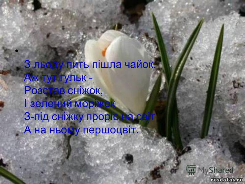 З льоду пить пішла чайок. Аж тут гульк - Розстав сніжок, І зелений моріжок З-під сніжку проріс на світ А на ньому першоцвіт.