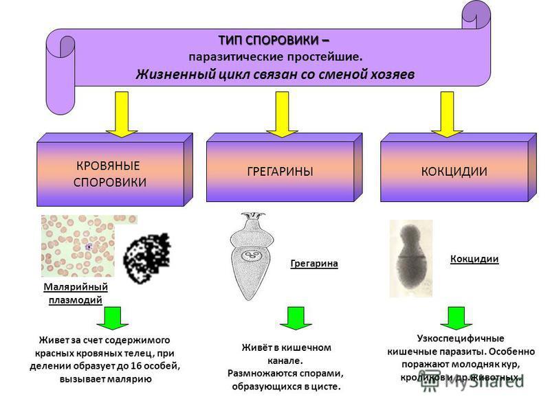 ТИП СПОРОВИКИ – паразитические простейшие. Жизненный цикл связан со сменой хозяев Малярийный плазмодий Живет за счет содержимого красных кровяных телец, при делении образует до 16 особей, вызывает малярию Живёт в кишечном канале. Размножаются спорами