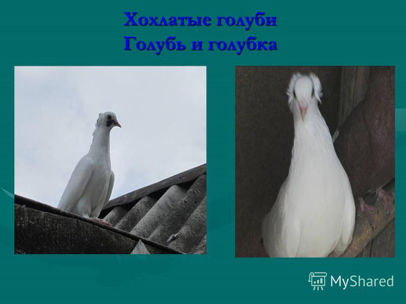 Хохлатые голуби Голубь и голубка