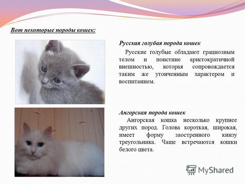 Вот некоторые породы кошек: Русская голубая порода кошек Русские голубые обладают грациозным телом и поистине аристократичной внешностью, которая сопровождается таким же утонченным характером и воспитанием. Ангорская порода кошек Ангорская кошка неск