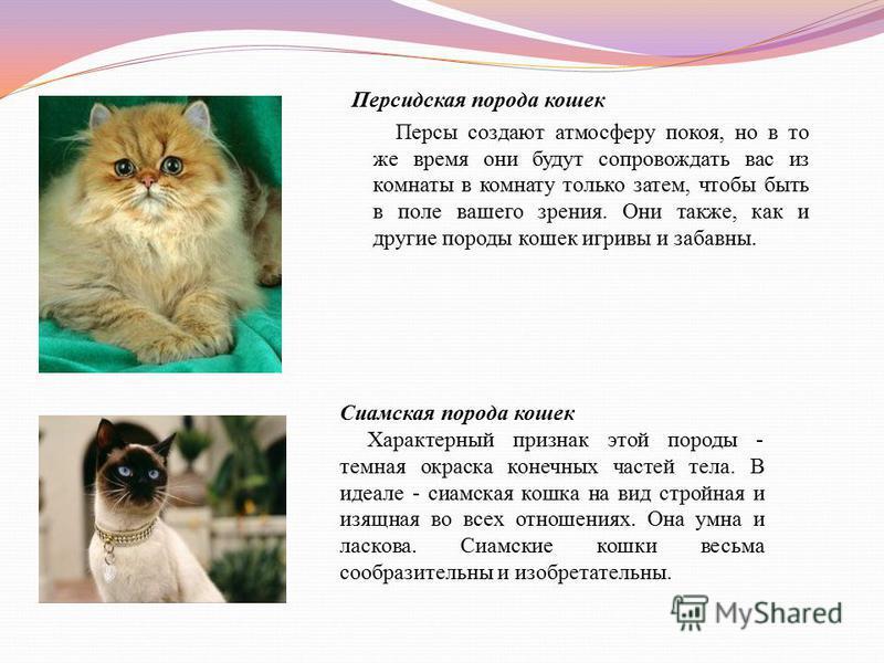 Персидская порода кошек Персы создают атмосферу покоя, но в то же время они будут сопровождать вас из комнаты в комнату только затем, чтобы быть в поле вашего зрения. Они также, как и другие породы кошек игривы и забавны. Сиамская порода кошек Характ
