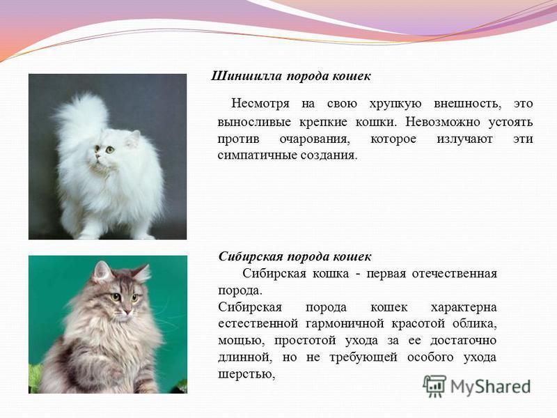 Шиншилла порода кошек Несмотря на свою хрупкую внешность, это выносливые крепкие кошки. Невозможно устоять против очарования, которое излучают эти симпатичные создания. Сибирская порода кошек Сибирская кошка - первая отечественная порода. Сибирская п
