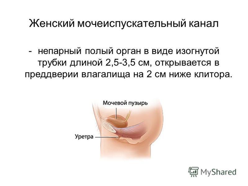 Женский мочеиспускательный канал -непарный полый орган в виде изогнутой трубки длиной 2,5-3,5 см, открывается в преддверии влагалища на 2 см ниже клитора.