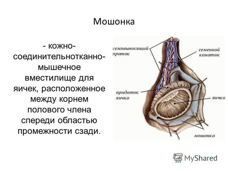 Мошонка - кожно- соединительнотканной- мышечное вместилище для яичек, расположенное между корнем полового члена спереди областью промежности сзади.