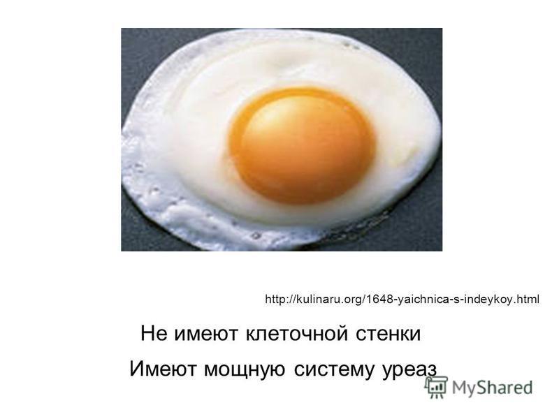 http://kulinaru.org/1648-yaichnica-s-indeykoy.html Не имеют клеточной стенки Имеют мощную систему уреаз