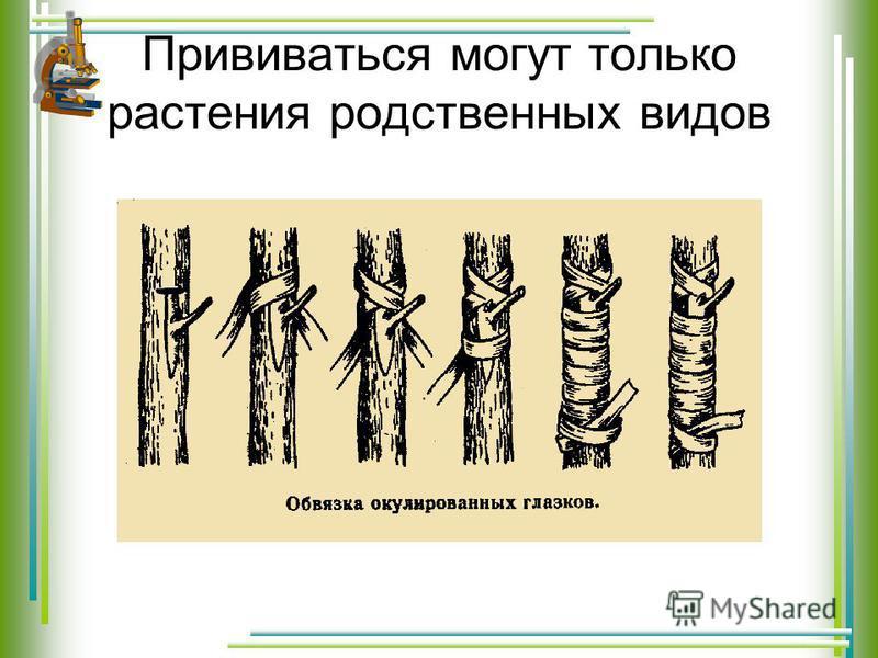 Прививаться могут только растения родственных видов