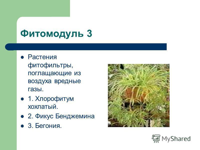 Фитомодуль 3 Растения фитофильтры, поглощающие из воздуха вредные газы. 1. Хлорофитум хохлатый. 2. Фикус Бенджемина 3. Бегония.