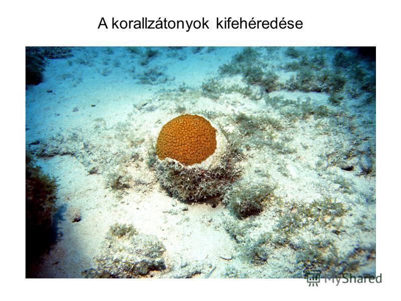 A korallzátonyok kifehéredése