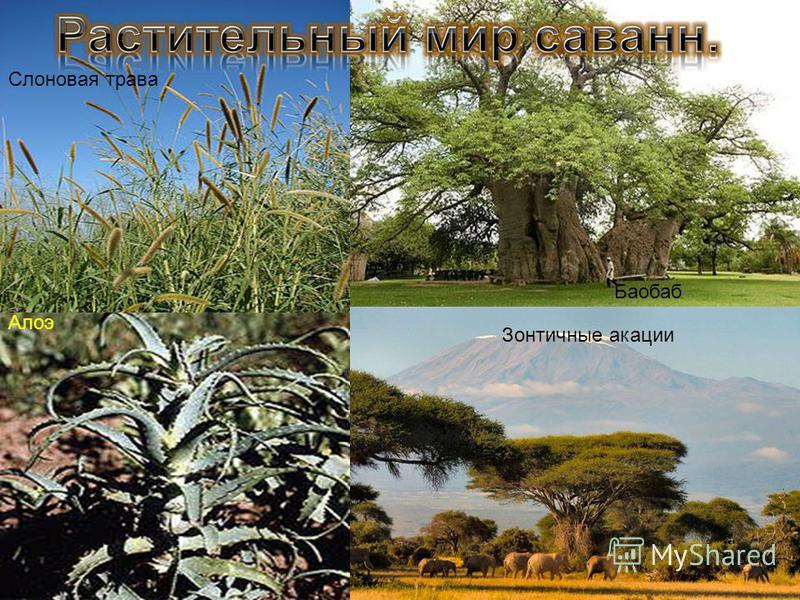 Зонтичные акации Баобаб Алоэ Слоновая трава