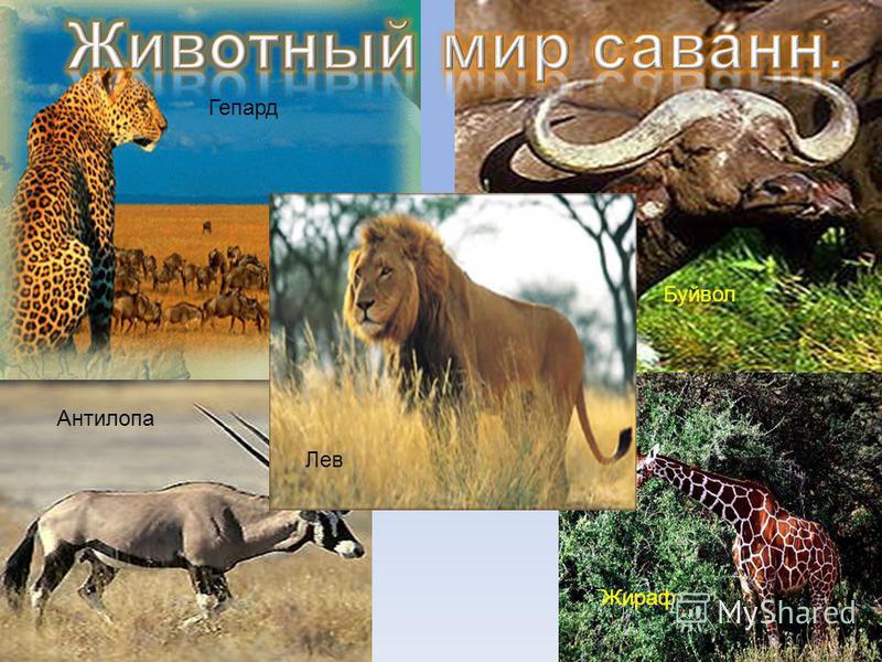 Гепард Антилопа Буйвол Жираф Лев