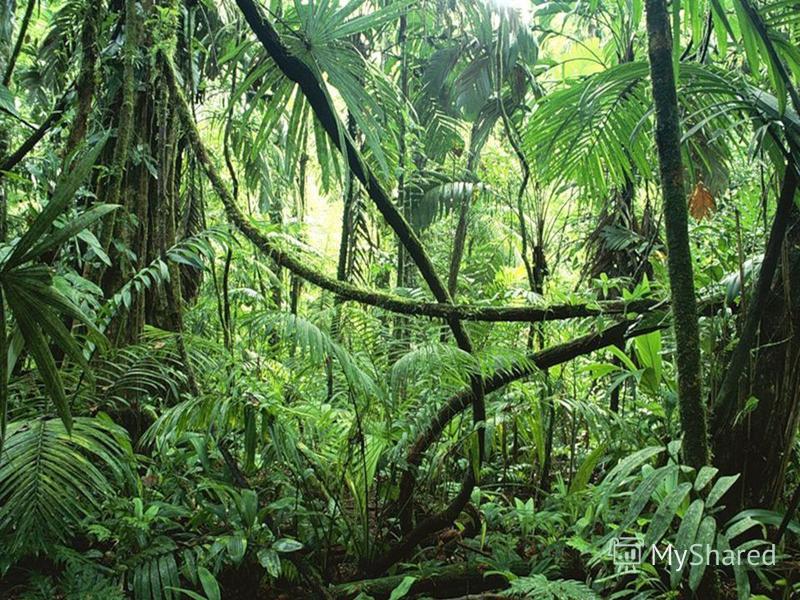 Гилея – влажный экваториальный лес