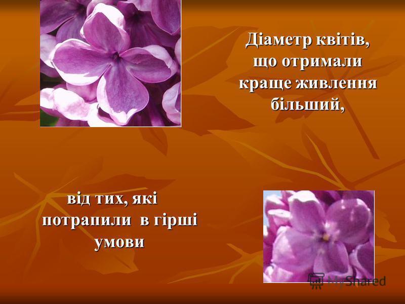 Квіти бузку такі різні за діаметром та кількістю пелюсток