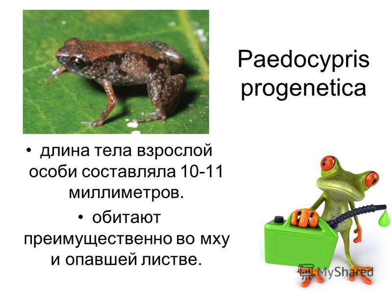 Paedocypris progenetica длина тела взрослой особи составляла 10-11 миллиметров. обитают преимущественно во мху и опавшей листве.