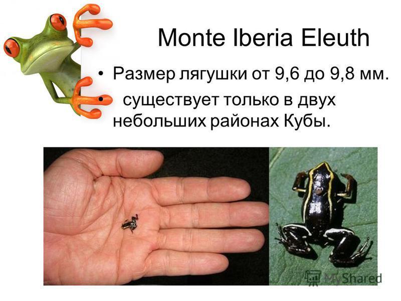 Monte Iberia Eleuth Размер лягушки от 9,6 до 9,8 мм. существует только в двух небольших районах Кубы.