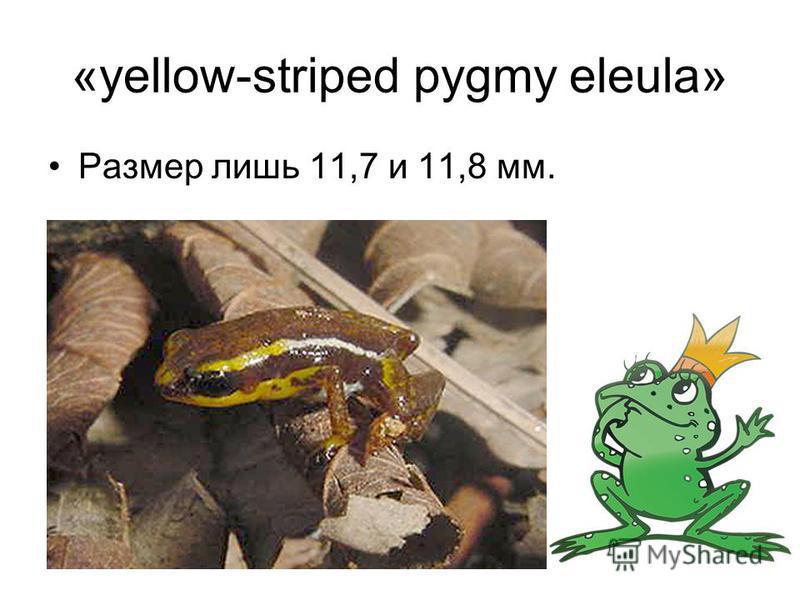 «yellow-striped pygmy eleula» Размер лишь 11,7 и 11,8 мм.
