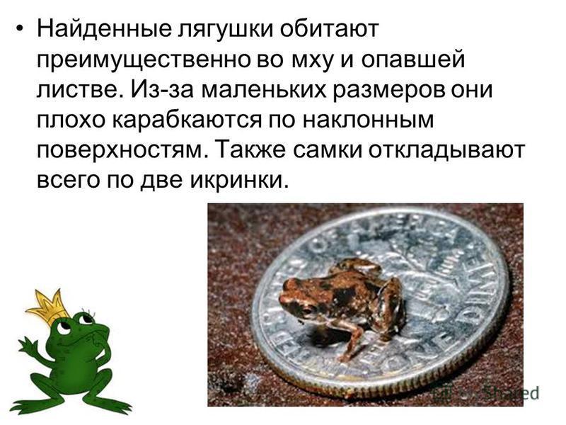 Найденные лягушки обитают преимущественно во мху и опавшей листве. Из-за маленьких размеров они плохо карабкаются по наклонным поверхностям. Также самки откладывают всего по две икринки.