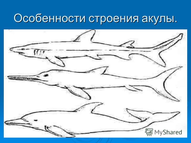 Особенности строения акулы.