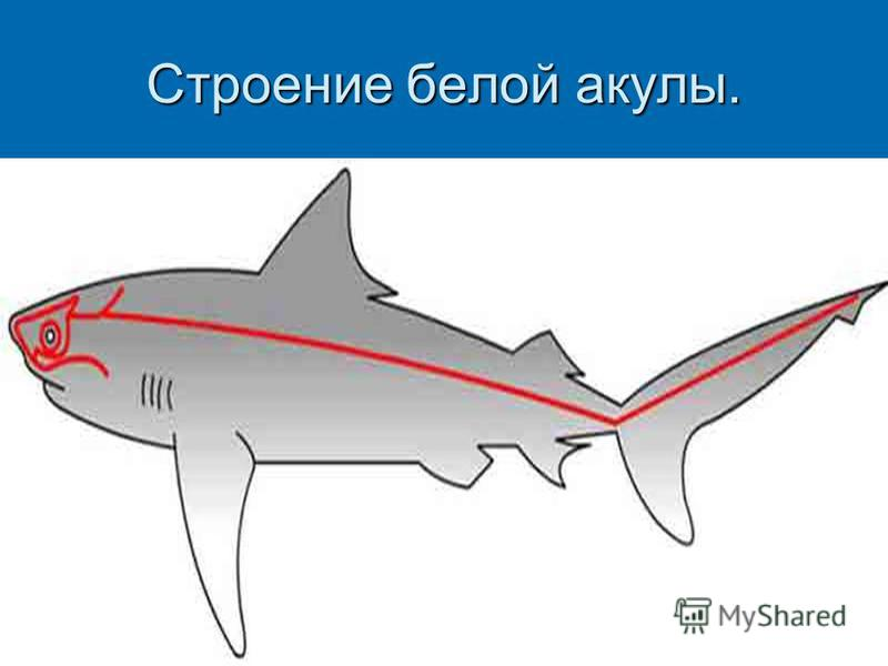 Строение белой акулы.