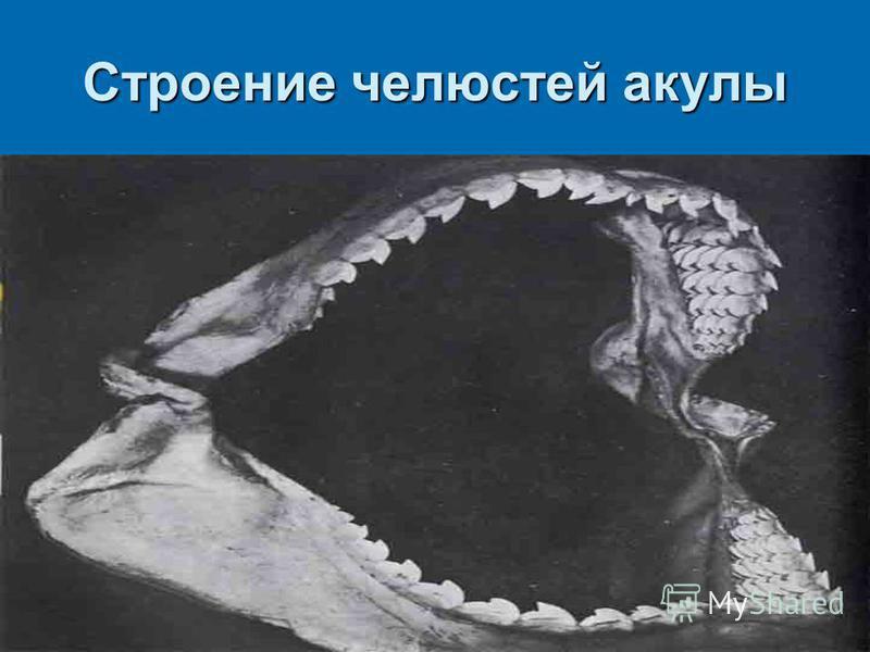 Строение челюстей акулы