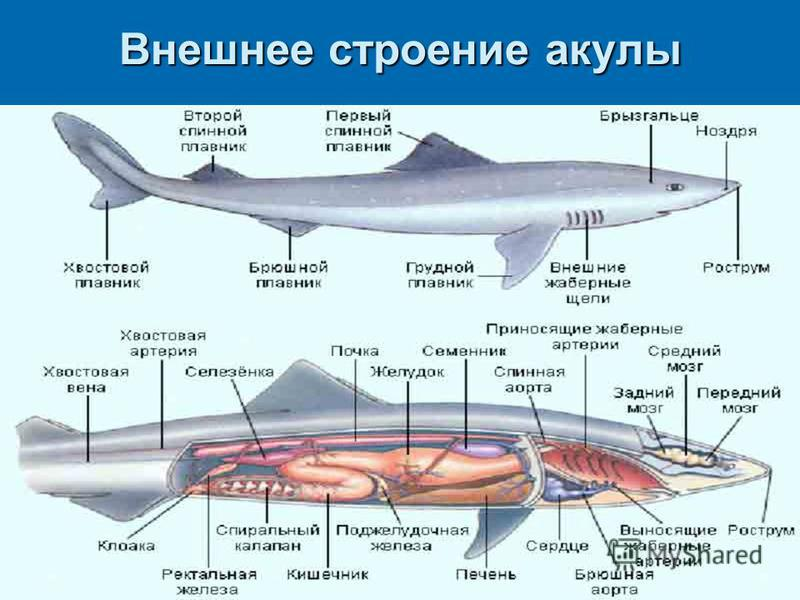 Shark external anatomy functions