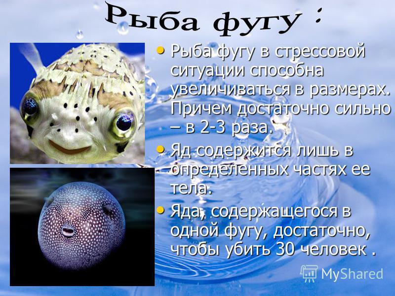 Рыба фугу в стрессовой ситуации способна увеличиваться в размерах. Причем достаточно сильно – в 2-3 раза. Рыба фугу в стрессовой ситуации способна увеличиваться в размерах. Причем достаточно сильно – в 2-3 раза. Яд содержится лишь в определенных част