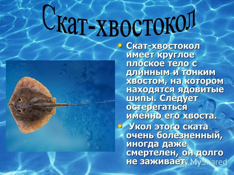 Скат-хвостокол имеет круглое плоское тело с длинным и тонким хвостом, на котором находятся ядовитые шипы. Следует остерегаться именно его хвоста. Скат-хвостокол имеет круглое плоское тело с длинным и тонким хвостом, на котором находятся ядовитые шипы
