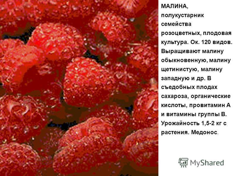 МАЛИНА, полукустарник семейства розоцветных, плодовая культура. Ок. 120 видов. Выращивают малину обыкновенную, малину щетинистую, малину западную и др. В съедобных плодах сахароза, органические кислоты, провитамин А и витамины группы В. Урожайность 1