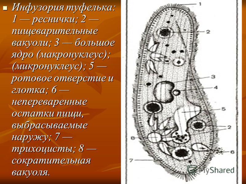 Инфузория туфелька: 1 реснички; 2 пищеварительные вакуоли; 3 большое ядро (макронуклеус); (микронуклеус); 5 ротовое отверстие и глотка; 6 непереваренные остатки пищи, выбрасываемые наружу; 7 трихоцисты; 8 сократительная вакуоля. Инфузория туфелька: 1