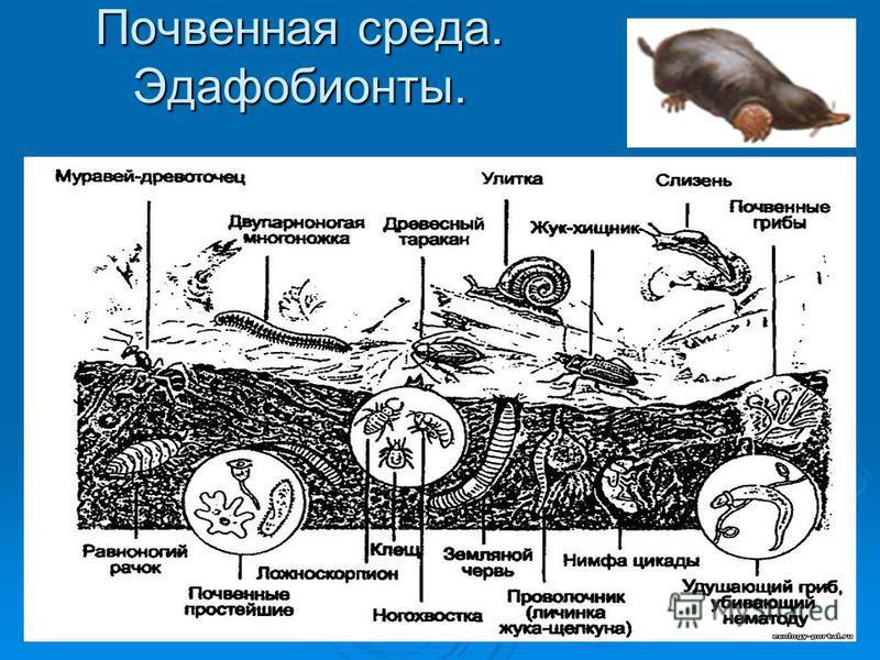 Почвенная среда. Эдафобионты.